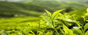 Why You Should Only Pick 'Pure Organic Tea'?