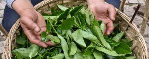 Most Popular Tea Production Techniques